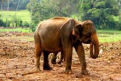 Aziatische babyolifant Royalty-vrije Stock Afbeelding