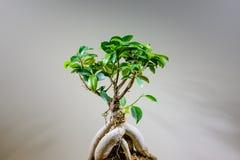 Aziatische bonsai in een macromening Stock Afbeelding