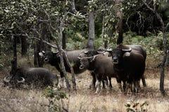 Aziatische buffels Royalty-vrije Stock Fotografie