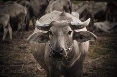 Aziatische buffels Stock Fotografie