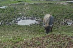 Aziatische buffels in landelijk Thailand Aziatische waterbuffel in het meer in Thailand Stock Foto