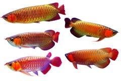 Aziatische die arowanavissen op een Witte Achtergrond worden geplaatst stock afbeelding