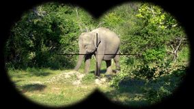 Aziatische die maximus van olifantselephas door Verrekijkers wordt gezien Het letten op Dieren bij het Wildsafari stock videobeelden