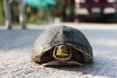 Aziatische doosschildpad Stock Afbeeldingen