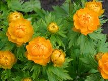 Aziatische globeflowers Royalty-vrije Stock Afbeeldingen