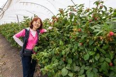 Aziatische hogere het plukken aardbeien Stock Afbeeldingen