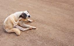 Aziatische hond die en zijn oor op de achtergrond van de zandvloer zitten krassen royalty-vrije stock afbeeldingen