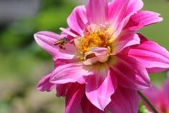 Aziatische honingbij met stuifmeel op benen die aan bloem vliegen Stock Foto
