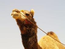 Aziatische kameel Royalty-vrije Stock Foto's
