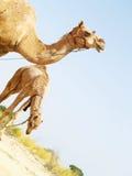 Aziatische Kamelen   Stock Afbeeldingen