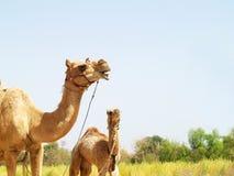Aziatische Kamelen Royalty-vrije Stock Fotografie