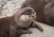Aziatische klein-gekrabde otter stock foto's
