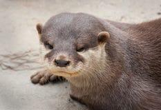 Aziatische klein-gekrabde otter royalty-vrije stock foto
