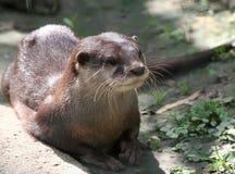 Aziatische klein-gekrabde otter Stock Foto