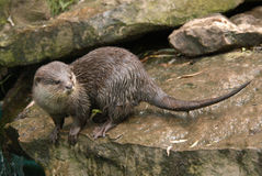 Aziatische klein-gekrabde otter Royalty-vrije Stock Afbeeldingen