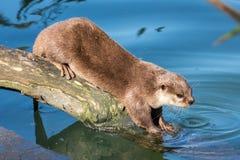 Aziatische klein-gekrabde otter op een logboek Royalty-vrije Stock Foto's