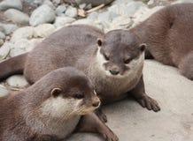 Aziatische klein-Gekrabde Otters royalty-vrije stock afbeeldingen