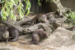 Aziatische klein-gekrabde otters op de steen stock fotografie