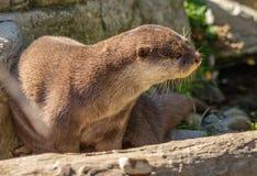 Aziatische kleine gekrabde otter bij de dierentuin van Wellington stock foto