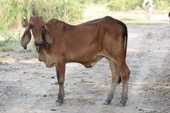 Aziatische koe Royalty-vrije Stock Afbeelding