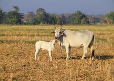 Aziatische koe en weinig kalf Royalty-vrije Stock Foto