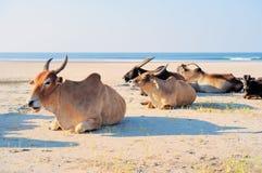 Aziatische Koeien Stock Afbeelding