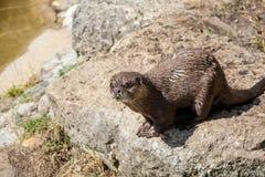 Aziatische kort-Gekrabde Otter Royalty-vrije Stock Fotografie