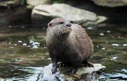 Aziatische Korte Gekrabde Otter Royalty-vrije Stock Foto