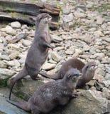 Aziatische korte gekrabde otters die naar gevaren zoeken Stock Afbeelding