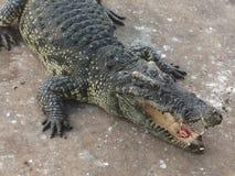 Aziatische krokodil stock afbeelding