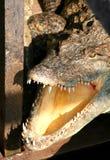 Aziatische krokodil Royalty-vrije Stock Afbeelding