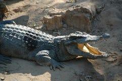 Aziatische krokodil Royalty-vrije Stock Foto