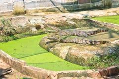Aziatische krokodil in landbouwbedrijf Royalty-vrije Stock Afbeeldingen