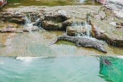 Aziatische krokodilcrocodylidae die slaap stock afbeeldingen