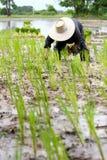 Aziatische landbouwer die rijst op gebied planten Stock Fotografie