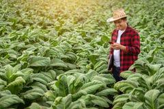 Aziatische landbouwersmens die de kwaliteit van tabakslandbouwbedrijven onderzoeken door landbouwers die moderne landbouwtechnolo stock foto's