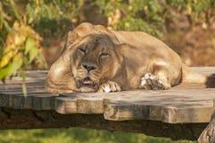 Aziatische leeuw Royalty-vrije Stock Foto