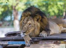 Aziatische leeuw Royalty-vrije Stock Afbeeldingen