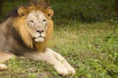 Aziatische leeuw dichte omhooggaand Stock Fotografie