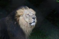 Aziatische Leeuw - Panthera-leopersica Royalty-vrije Stock Foto's