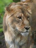 Aziatische Leeuwen in Chester stock fotografie