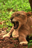 Aziatische leeuwin Stock Foto