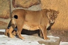 Aziatische leeuwin Royalty-vrije Stock Foto's