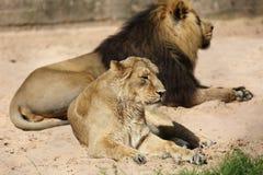 Aziatische leeuwin die van de zon genieten in Chester Zoo Royalty-vrije Stock Foto