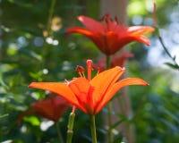 Aziatische Lelies in de Tuin stock foto's