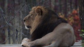 Aziatische leopersica van leeuwpanthera stock videobeelden