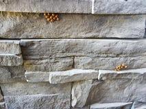 Aziatische lieveheersbeestjes Royalty-vrije Stock Fotografie