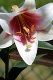 Aziatische Lilly Bloom Royalty-vrije Stock Fotografie