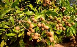 Aziatische Longan-Boomgaarden op het geplante landbouwbedrijf stock afbeeldingen
