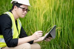 Aziatische mannelijke agronoom die op padieveld waarnemen Royalty-vrije Stock Foto's